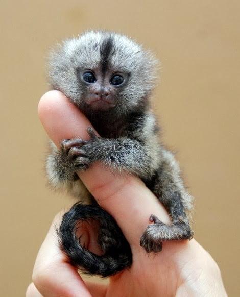 Maimuţa în miniatură maimuta-in-miniatura-gadgetreport