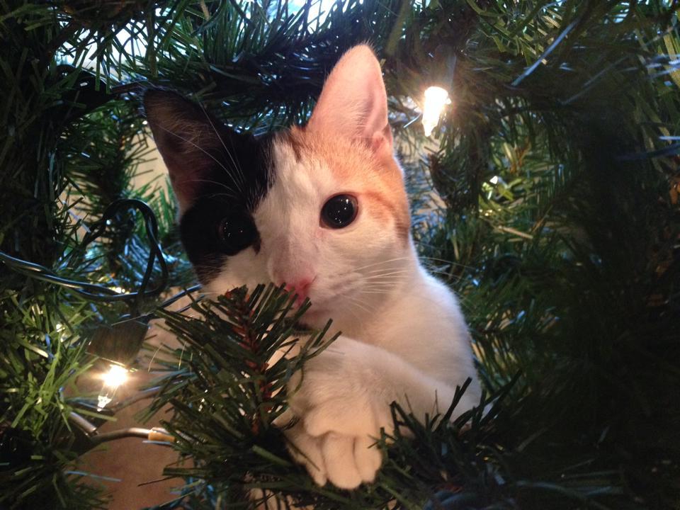 Pisicile, fascinate de bradul de Craciun pisica-craciun