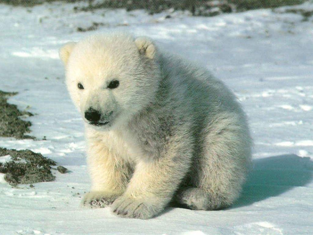 pui-de-urs-polar