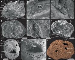 Saccorhytus coronarius nature21072-f1